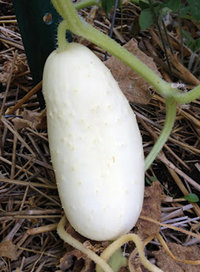 50 Samen weisse Gurke cucumis sativus 'white wonder' USA Import