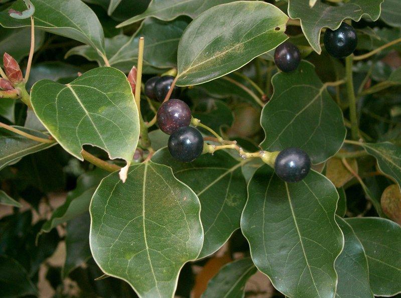 10 Samen Cinnamomum camphora Kampferbaum