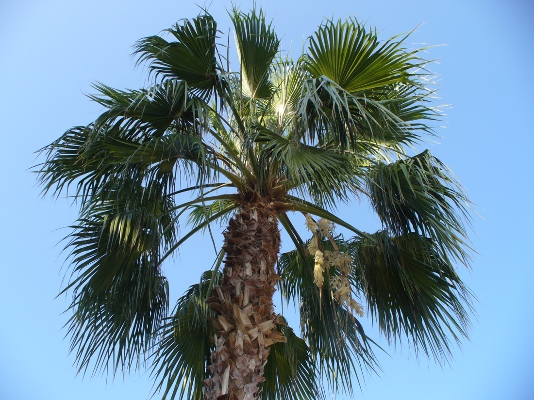 10 samen washingtonia robusta mexikanische washington palme. Black Bedroom Furniture Sets. Home Design Ideas