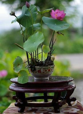 5x Nelumbo nucifera Samen, Bonsai Lotus, Bowl Lotus, Direktimport aus china
